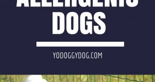 hypoallergenic dog, hypoallergenic dogs, hypoallergenic dog breeds