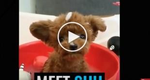 teddy bear dog, dogs that look like teddy bears