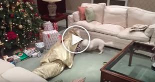 christmas dog videos, dog unwraps human, christmas morning dog