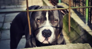 pit bull, best dog food for pit bulls, are pitbulls good family dogs