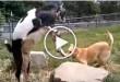 dog goat, funny dog videos