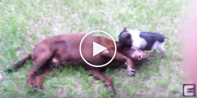 pig and - Yo Doggy Dog