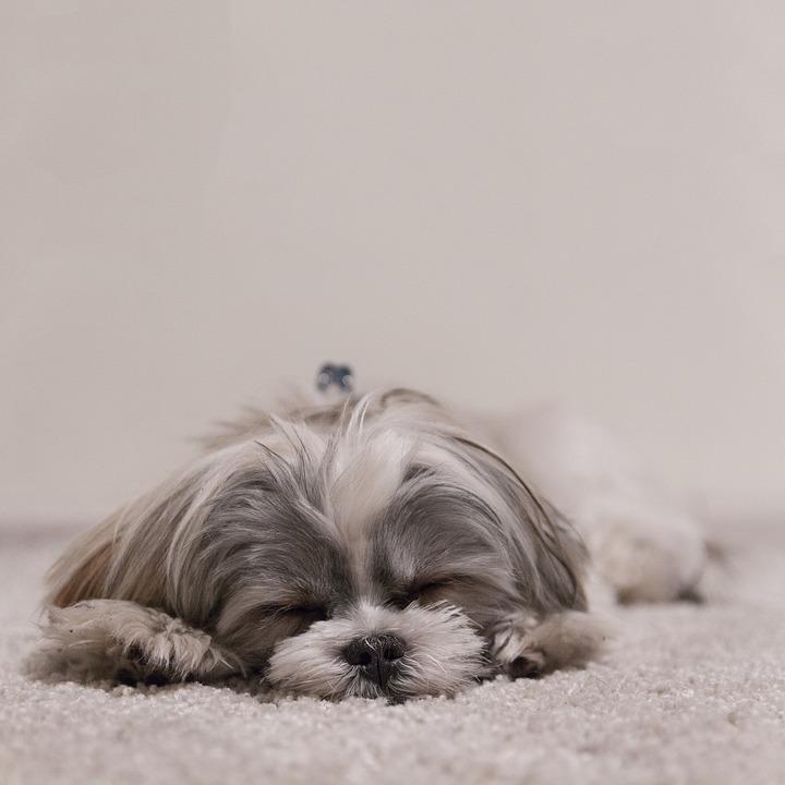 laziest dog breeds, shih tzu