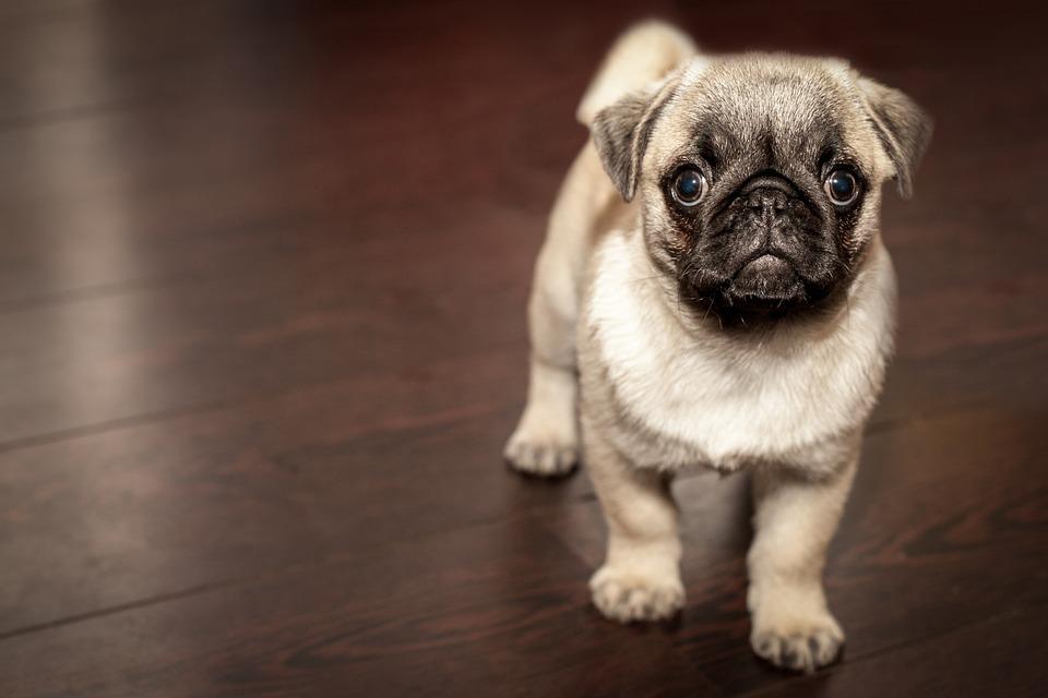 laziest dog breeds, pug