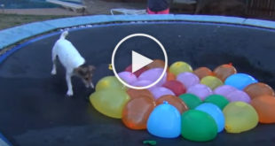 water balloon dog, cute dog video