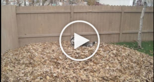 leaf pile dog